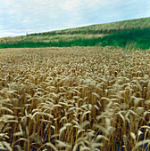 Wheat field, South Holland Netherlands
