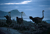 Ostrich at Cape of good hope, Western Cape South Africa