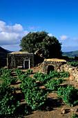Wine growing, stone house, isle of Pantelleria Italy