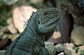Iguana, close up, Iguana/Niederlaend.Antillen/Karibik Niederlaendische Antillen