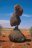 Nest von Webervoegeln, Suedafrika