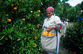 Orangenernte in Citrusdal, Western Cape Suedafrika