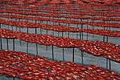 Getrocknete Tomaten, Foggia, Apulien Italien