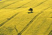 Rape field with one single tree, Island Ruegen, Mecklenburg, Germany