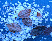 Beech leaves and ice crystals on frozen ice, Autumnal leaves, Winter, Nature