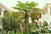 Palm trees at a courtyard, Santa Maria, Sal, Cape Verde, Africa