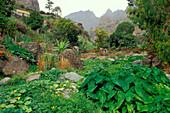 Green plants at mountain landscape, Paul, Santo Antao, Cape Verde, Africa