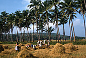 People at harvest on a paddy field, Goa, India