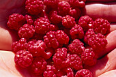 A fistful wild raspberries