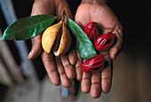 Hands holding fresh nutmegs, Grenada, Caribbean, America