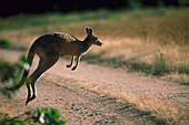 Grey Big Kangaroo hopping over a country road, New South Wales, Australia