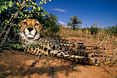 A cheetah resting in the shadow of a bush, Africat Foundation, Okonjima, Namibia, Africa