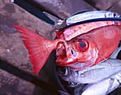 Fresh Catch, Sardines, Red Garupa, Island of Sal Cape Verde