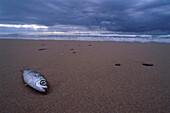 Stranded fish on the beach, Costa Dourada, Algarve, Atlantic Ocean, Portugal