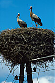 Storchenpaar im Nest, bei Schlepzig, Unterspreewald Brandenburg, Deutschland