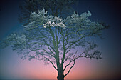 An alder tree with frost in a winter landscape at dusk, Lower Saxony, Germany