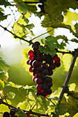 Bunch of grapes, Bunch of grapes in Styria, Austria, Bunch of grapes, Styria, Austria , Wine Tradition Styria, Austria