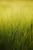 Corn-field, Nature Wellness Relaxation