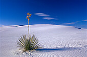Plant growing in the middle of sand dunes, Growth, White Sands, New Mexico, USA