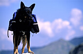 Dog with Backpack, Alps