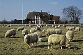Sheeps before Farmhouse, Romoe, Juetland Denmark