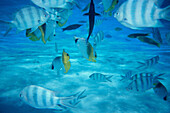 Underwater world, South Seas, Aitutaki Laguna, Cook Islands
