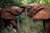 Junge afrikanische Elefanten