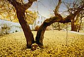 Ginkgo tree circa 250 years old, Saxony-Anhalt, Germany