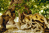 Lime tree circa 1000 years old, Lower Saxony, Germany