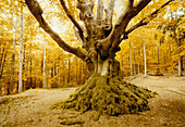 Beech tree in forest, circa 300 years old, North Rine-Westphalia, Germany