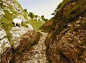 E. George, Undank ist der Väter Lohn, Hügellandschaft mit Schaf, Castleton, Peak District, Derbyshire, England, Großbritannien