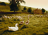 E. George, A Great Deliverance, Geese on a farm in Yorkshire, England, Great Britain