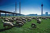 Schafe auf der Rheinwiese, Rheinturm, Duesseldorf Nordrhein-Westfalen, Deutschland