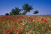 Fieldflowers, Mecklenburg Lake District, Mecklenburg-Western Pomerania, Germany