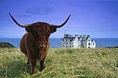 Highland cow at Dunbeath Castle, Caithness, Scotland, Great Britain