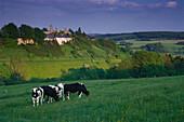 Cows on pasture, Kronenburg in background, Eifel, North Rhine-Westphalia, Germany