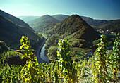 Grapevine in Ahrtal, Eifel, Rheinland Pfalz Germany