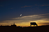 Cow on meadow near Effelsber, Eifel, North Rhine-Westphalia, Germany