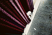 Little dog behind a curtain, Pekinese, Animal