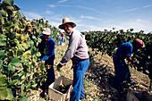 Weinernte von Weintrauben, Weinanbau, Sant Sadurni d'Anola, Penedes, Katalonien, Spanien
