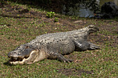 Wild alligator, Everglades, Florida USA