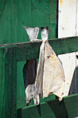 Fish hung up to dry, Dried fish, Norway