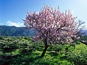 Almond blossom, La Palma, Canary Islands, Spain