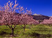 Almond tree blossom, Majorca, Spain