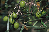 Olives on a tree, Andalusia, Spain, Europe