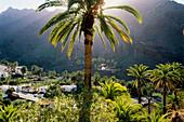 Palm tree, El Guro at the Valle Gran Rey, La Gomera, Canary Islands, Spain