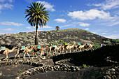 Camels, Montanas del Fuego, volcanic landscape, near Uga, Lanzarote, Canary Islands, Spain