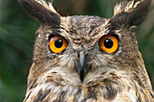Close up of an Eagle owl, Owl, Bird of Prey, Animal