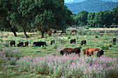 Bulls out at feed on Dehesa pasture, Cadiz province, Andalusia, Spain, Europe