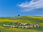 Flock of sheep, Rape, Crete, Pienza Tuscany, Italy